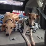 The resident dog, right, may get in the car to accompany the scared foster to appointments so they are not alone.