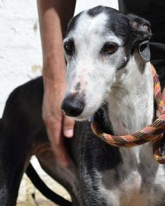 Pretty Maxima, another Galgo available through SHUG, has an adoption fee of $650.