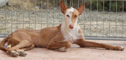 First Person – A Podenco Makes A Home Complete